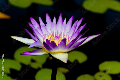 Poster de jardin Nénuphars In Water Heavenly Lily