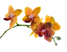Blooming  Twig Of Orange Spotted Orchid, Phalaenopsis Is Isolate