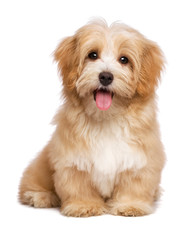 Fototapeta Beautiful happy reddish havanese puppy dog is sitting frontal
