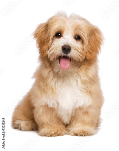 Beautiful happy reddish havanese puppy dog is sitting frontal