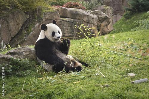 panda géant // giant panda Canvas Print