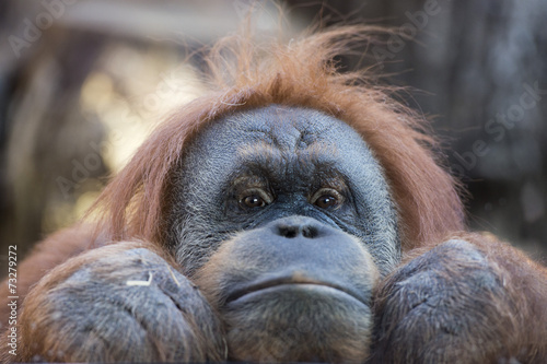 Deurstickers Aap orangutan monkey close up portrait