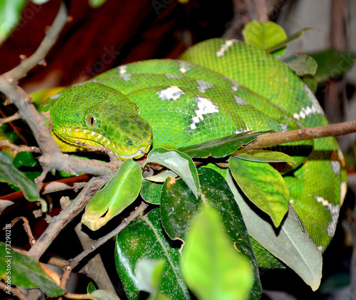 Aluminium Prints Chameleon Green Boa Snake