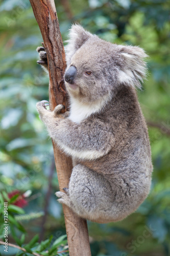 Garden Poster Koala Portrait of Koala sitting on a branch