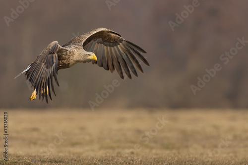 In de dag Eagle Eagle in flight