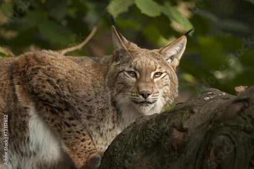 Foto auf Leinwand Luchs Lynx is klaar om te vertrekken.
