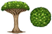 A Blood Dragon Tree