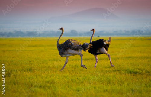 In de dag Struisvogel African ostrich