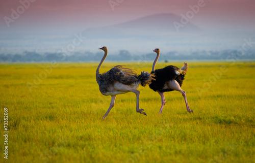 Spoed Foto op Canvas Struisvogel African ostrich