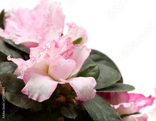 Papiers peints Azalea pink azalea isolated on white background
