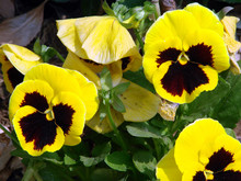 Yellow Brown Flowers With Design