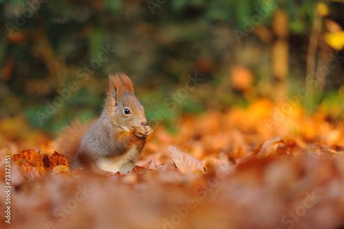 Fotobehang Eekhoorn Red squirrel with hazelnut on leafs