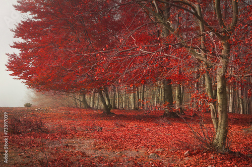 Canvas Prints Cuban Red Tree with red leaves in the forest during autumn