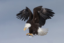 American Bald Eagle Landing Near Homer Alaska
