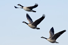 Three Canada Geese Flying In A Blue Sky