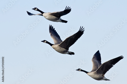 Photo  Three Canada Geese Flying in a Blue Sky