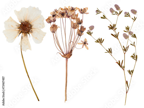 Set of wild flowers pressed Wallpaper Mural