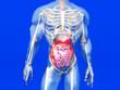 canvas print picture - Menschliche Anatomie - Verdauungstrakt