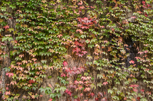 Fotografering  Muro di una casa coperto di edera in autunno