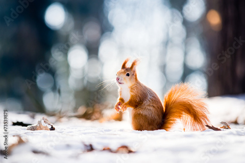 Fotobehang Eekhoorn Cute red squirrel looking in a winter scene