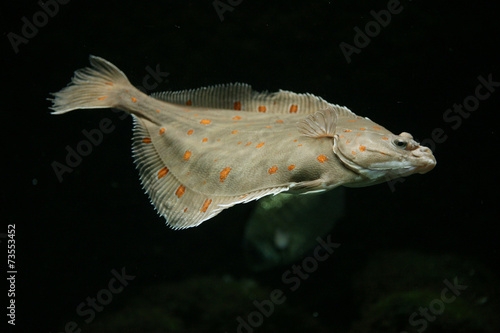 Stampa su Tela European plaice fish (Pleuronectes platessa)..