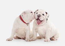 Dog. Two English Bulldog Puppi...
