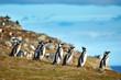 Magellanic penguins in natural environment