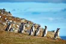 Magellanic Penguins In Natural...