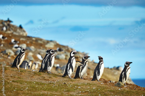 Magellanic penguins in natural environment