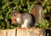Close Up Of A Grey Squirrel Eating A Large Chestnut