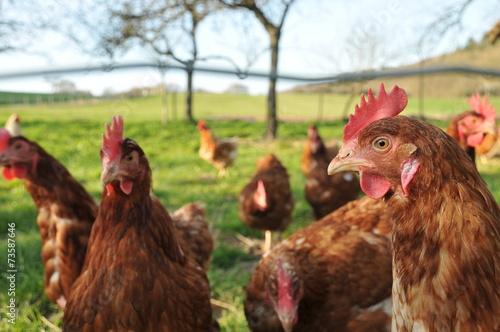Keuken foto achterwand Kip poule de ferme