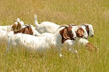 Boar Meat Goats Grazing In A Early Summer Field