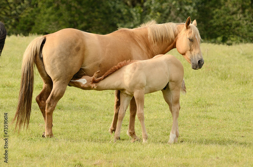 Fotografie, Obraz  American paint mare and colt