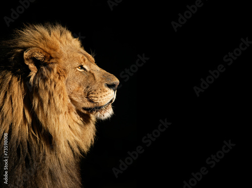 In de dag Leeuw Portrait of a big male African lion on black