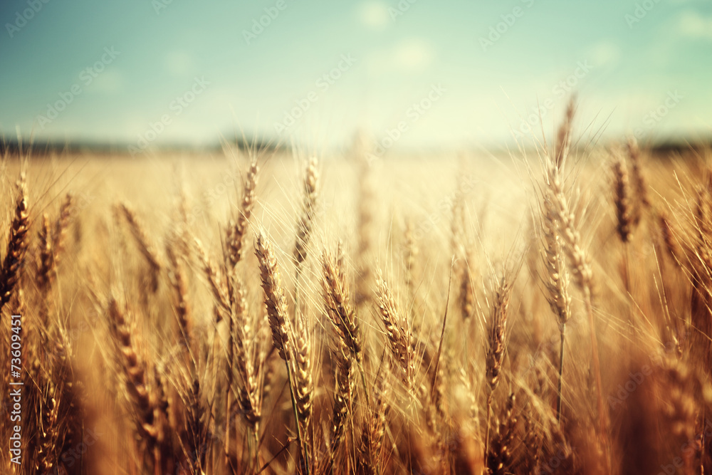 Fototapeta golden wheat field and sunny day