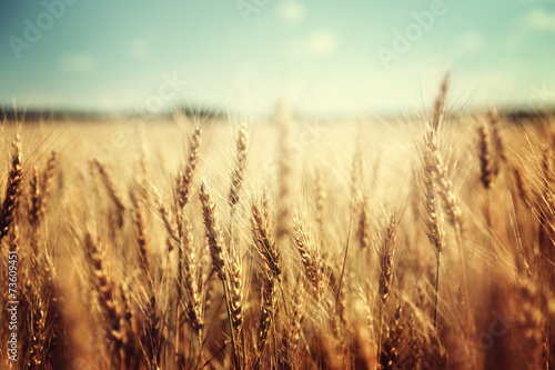 Fototapeta golden wheat field and sunny day obraz
