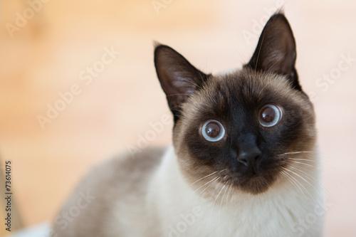 Fototapeta Beautiful Siamese adult cat