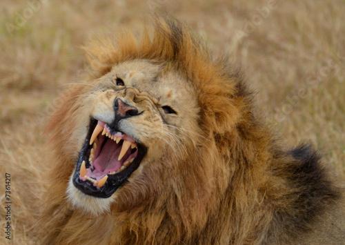 Fotobehang Leeuw Roaring Lion 3