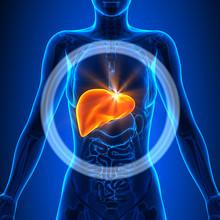 Liver - Female Organs - Human ...