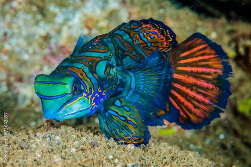 dragonet-mandarinfish-w-banda-indonezja