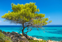 Pine Forest Tree By The Sea In...