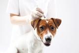 Fototapeta Zwierzęta - Weterynarz wyciąga kleszcze, pies na zabiegu