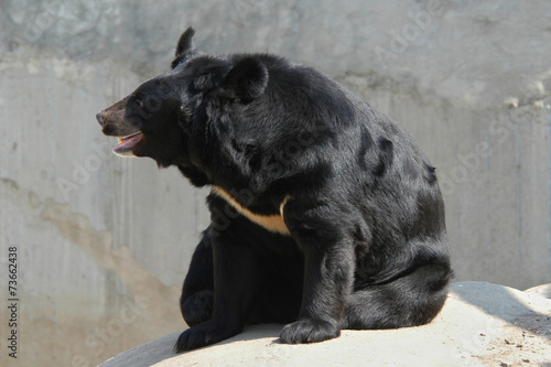 Plakát  Asian black bear (Ursus thibetanus)..