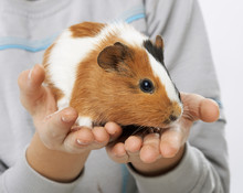 Guinea Pig In The Hands Of A Boy