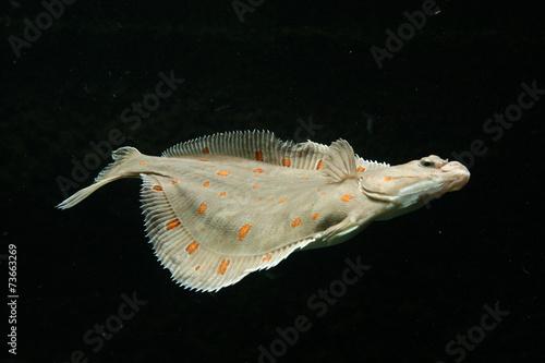 Fotografie, Tablou European plaice fish (Pleuronectes platessa)..
