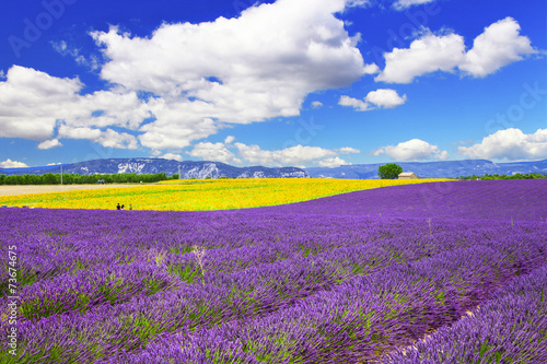 Spoed Foto op Canvas Violet violet fields of blooming lavande in Provence, France