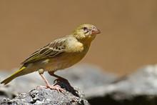 Non-breeding Southern Masked-Weaver; Ploceus Velatus