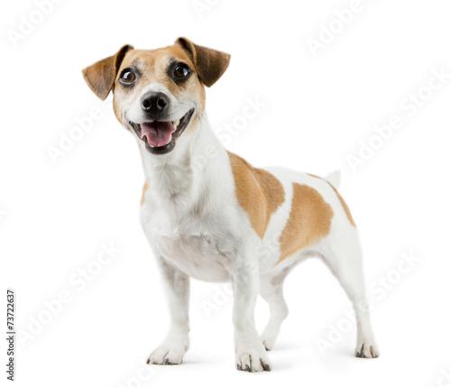 Fotografia Dog Jack Russell Terrier in full length