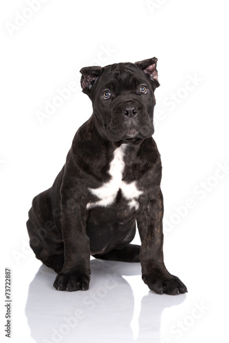 Cane Corso Puppy With Cropped Ears Buy This Stock Photo And