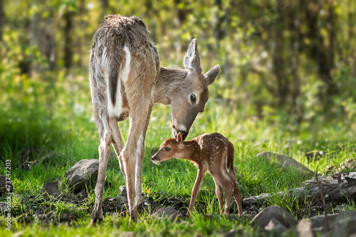 White-Tailed Deer (Odocoileus virginianus) Sniffs Behind Fawn's Canvas-taulu